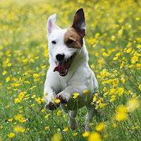 dog running through yellow flowers