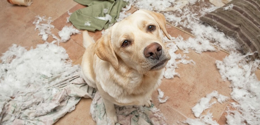 guilty looking yellow lab