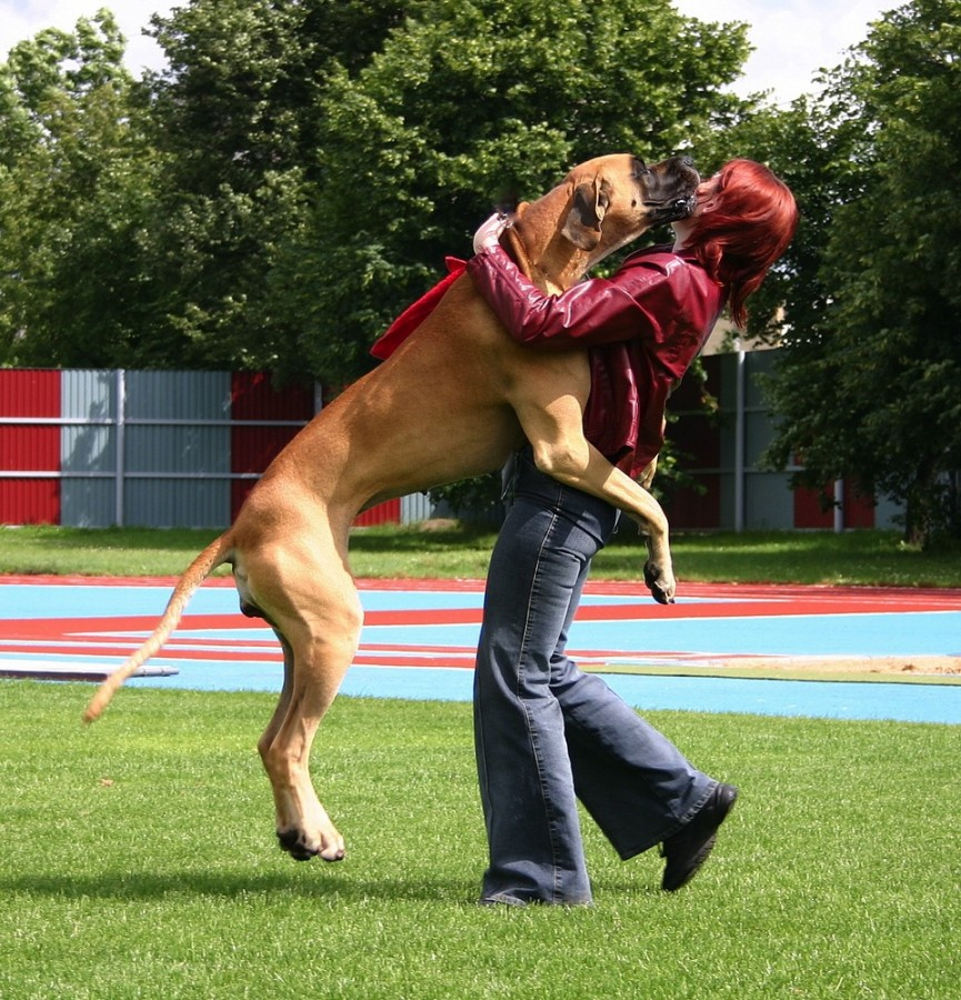 great dane jumping up on a woman