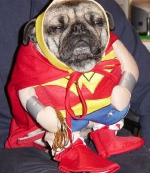 pug in a wonderwoman costume