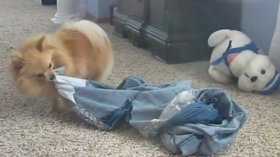 dog dragging pants