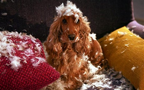 dog covered in pillow feathers