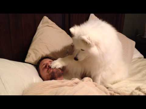 white spitz waking sleeping man