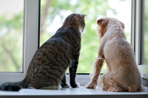 same cat and dog on the windowsill looking out the window
