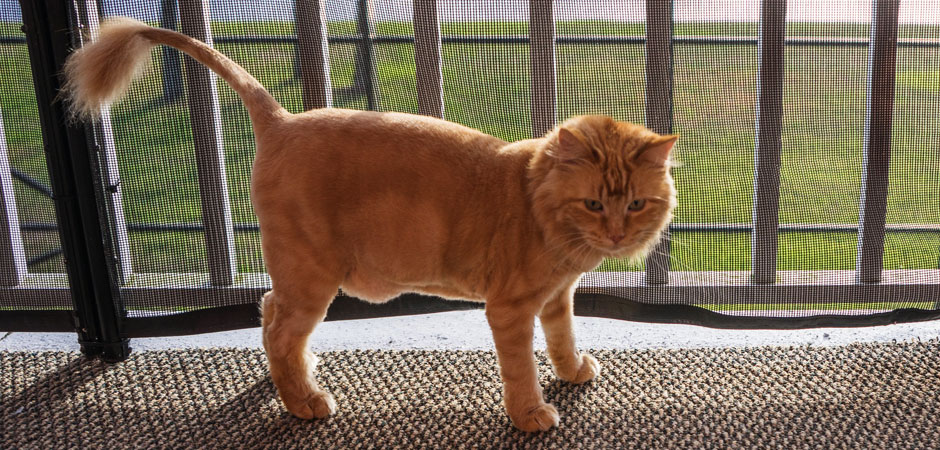 long-haired, orange cat with a lion cut groom