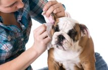 bulldog getting his ears cleaned