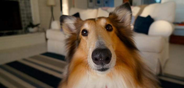 close up of a collie's facial expression