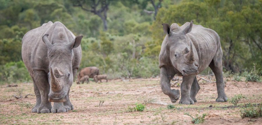 2 white rhinos in South Africa
