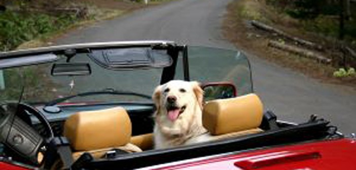 dog in convertible
