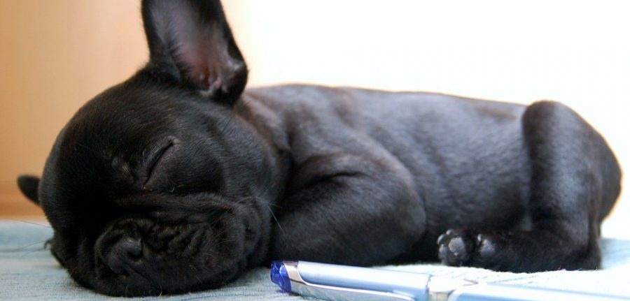 little black dog sleeping