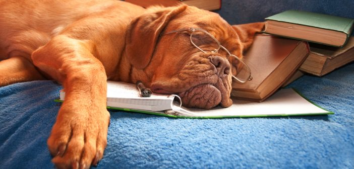 dog asleep after hours of studying