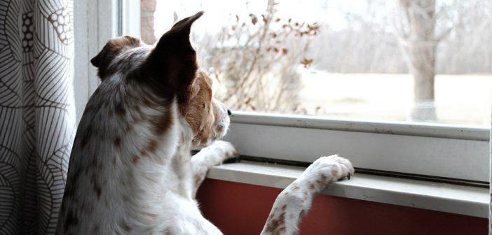 dog watching outside through the window