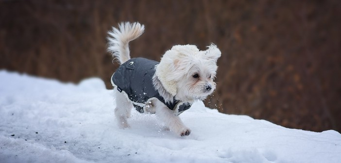 dog wearing a winter coat