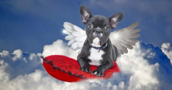 bulldog with wings floating on clouds