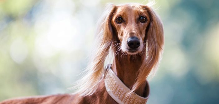 dog wearing a fancy collar