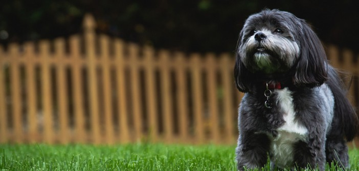 dog in fenced in yard