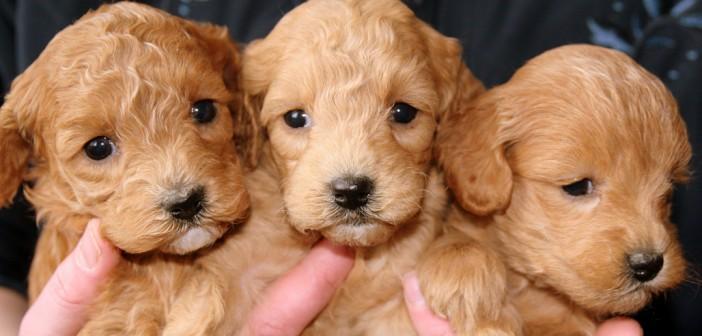 woman holding 3 golden retriever puppies