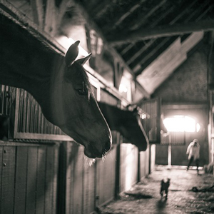 barn with horses in stalls and a woman and a dog in the alleyway