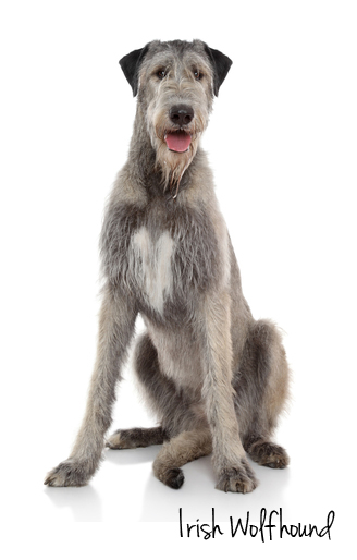 Irish Wolfhound sitting with white background