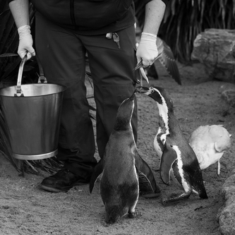 zookeeper feeding the penguins in zoo