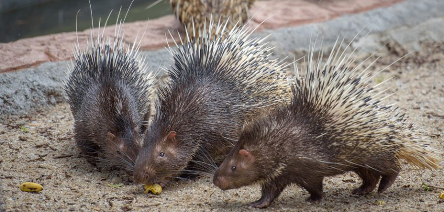 three porcupines eating a banana together