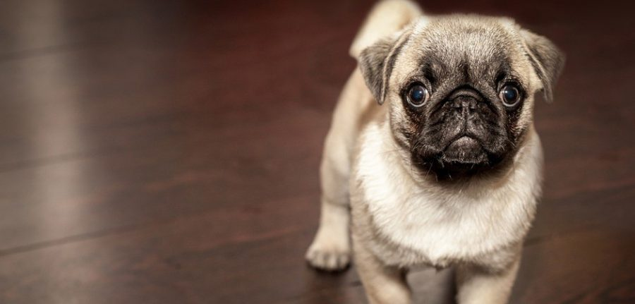 cute little pug standing on a wooden floor