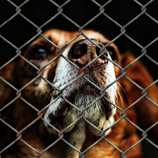 dog looking through a chain link fence
