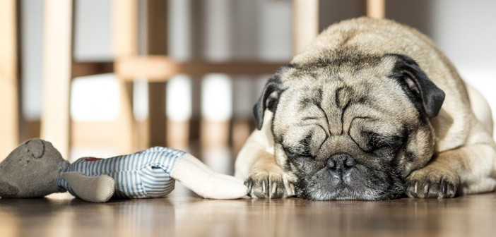 dog asleep on the floor next to his toy