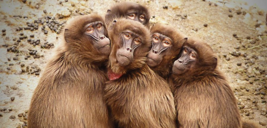 5 baboons sitting together