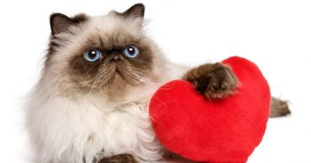 persian cat with a red heart valentine