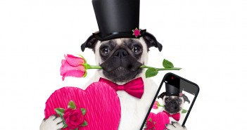 pug dog with valentine gifts