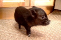 huckleberry fin pet pig