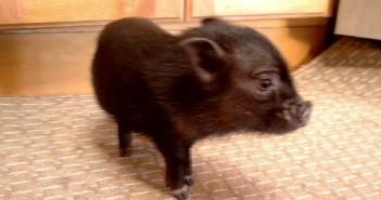 huckleberry fin pet pig
