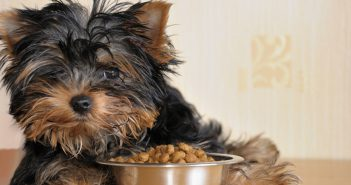 yorkie laying with a bowl of dog food