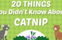20 things about catnip infographic header
