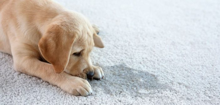 How To Clean Up After a Pet Accident