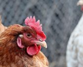 Tips To Help Prepare Your Chickens for Spring