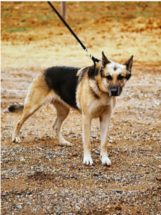 German Shepherd Dog Pulling