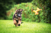 How to feed German Shepherd puppy