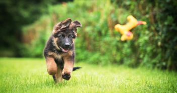 How to Feed Your German Shepherd Puppy
