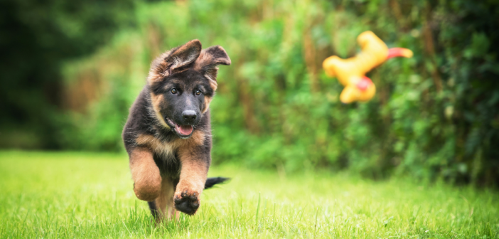 How to feed German Shepherd puppy