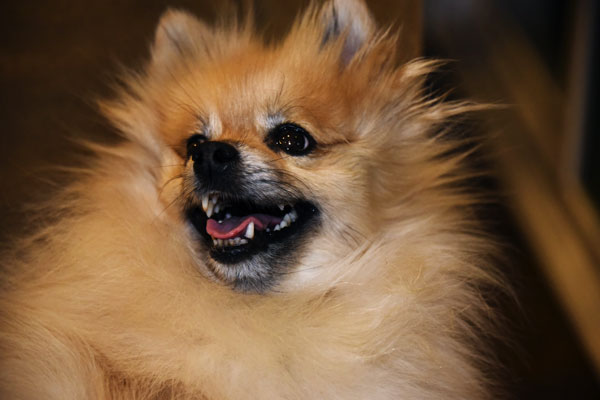 mischevious pomeranian dog