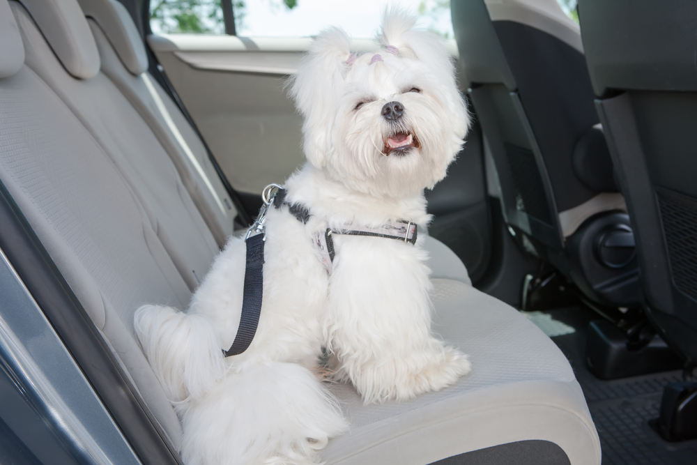 Seatbelt for Dogs In Car