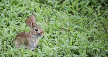 wild baby bunny rabbit in the yard