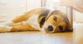 beagle dog laying on a hardwood floor