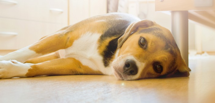 beagle dog laying on a hardwood floor