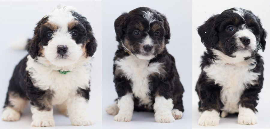 three bernedoodle puppies
