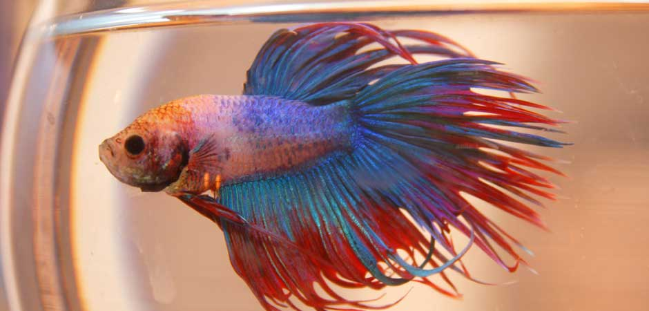 red and blue betta fish swimming in a fish tank
