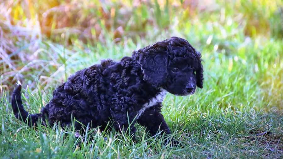 little black cockapoo puppy outside in the grass