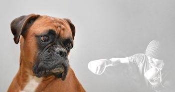 brown boxer dog looking at boxing man